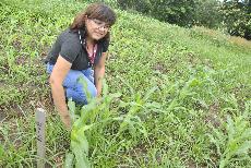 Foto Projeto de extensão de Agronomia testa variedade de milho